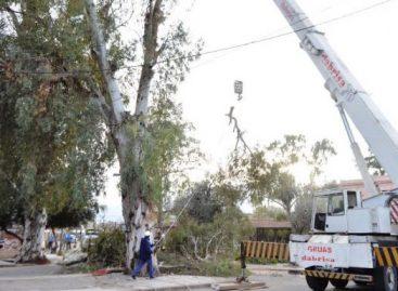 Tras 24 años de reclamos, podaron enormes eucaliptus