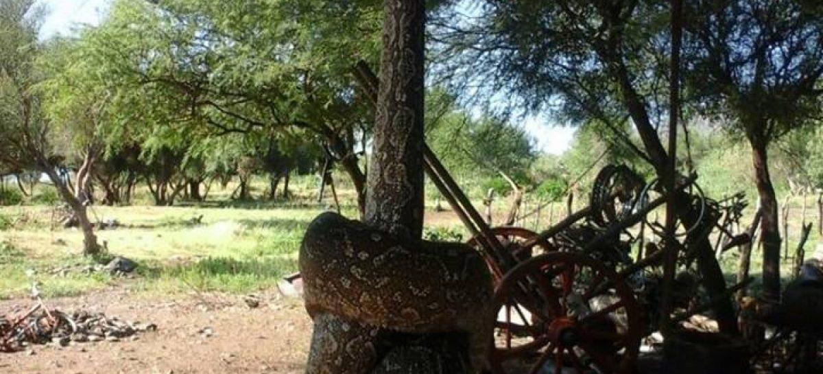 Una enorme víbora se comió un cabrito en Ulapes