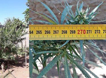 Tenía una enorme planta de marihuana en su casa y fue detenido