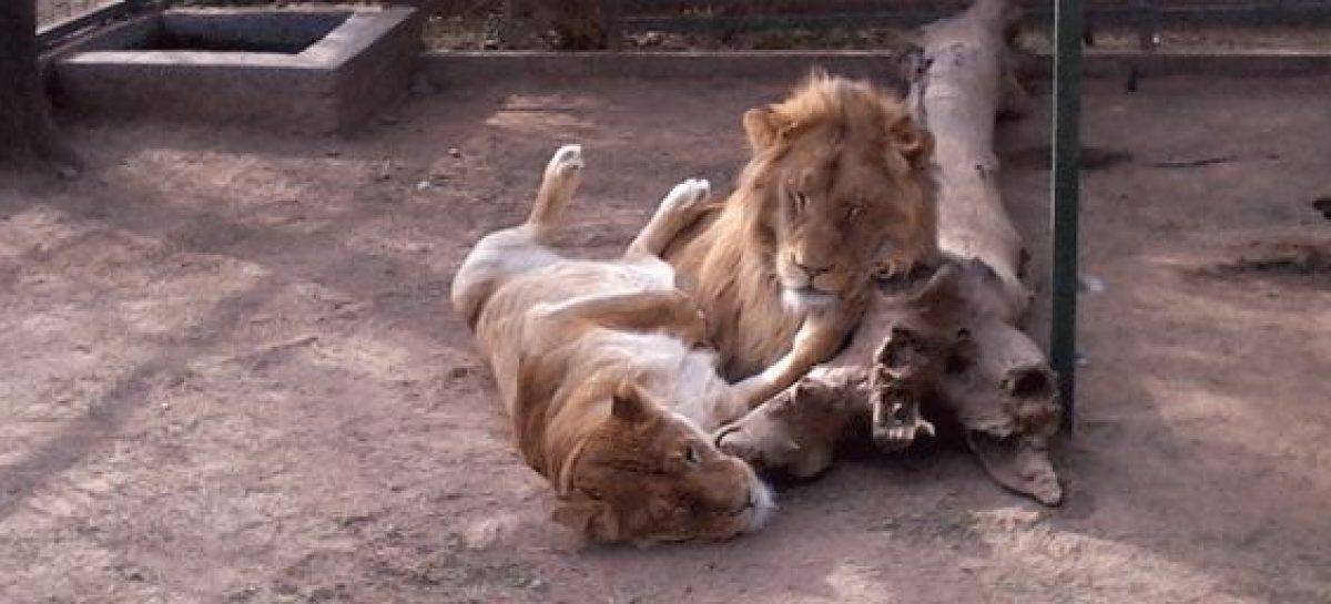 Se complica el traslado de felinos del zoológico a Sudáfrica