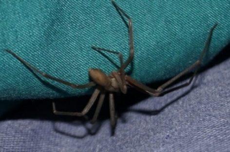 Alertan sobre la peligrosa araña de rincón que habita en La Rioja
