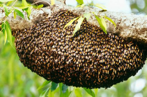 Un hombre murió tras ser atacado por un enjambre de abejas