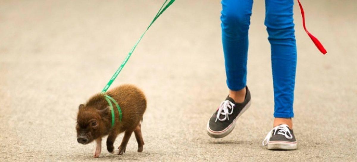 Mini pig, la mascota que comienza a ser furor en Argentina